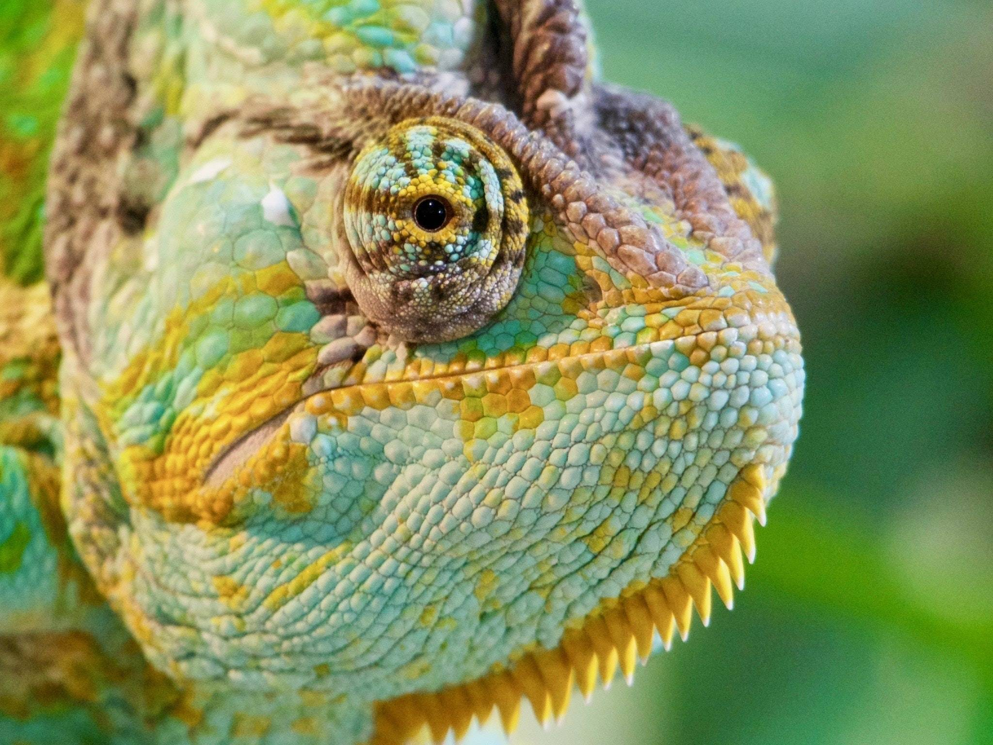 Chameleon personality what is a The Social