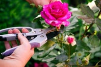 Woman with gardening shears cutting pink rose