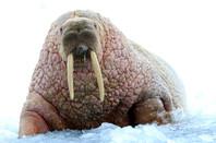 It's a walrus