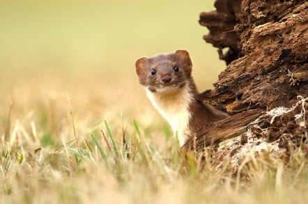Adorable stoat