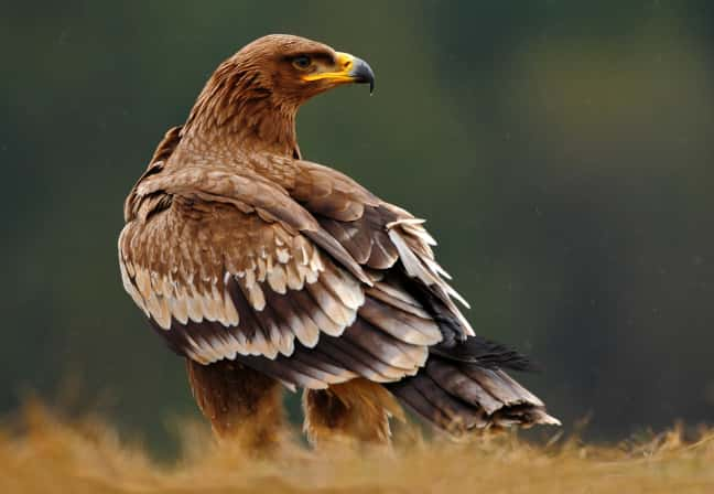 Roaming Russian eagles leave scientists broke
