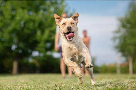 Young Labrador retriever dog running