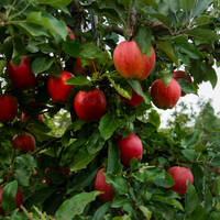 A tree with ripe apples