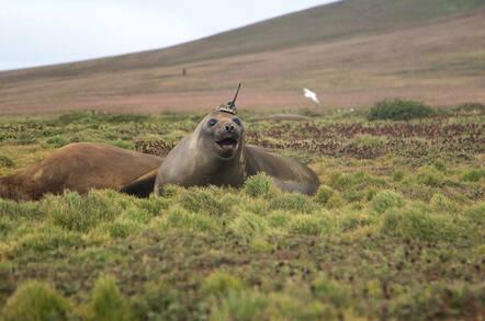 southern_elephant_seal