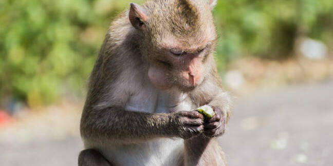 A macaque monkey. Pic: Shutterstock