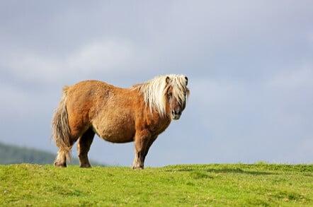 Shetland pony standing in a grassy field