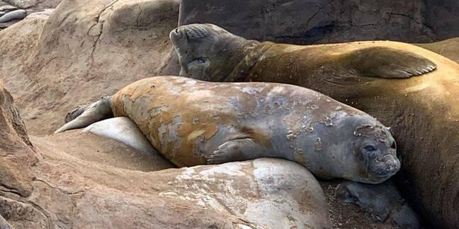 A pair of elephant seals moulting near Davis Station, Antarctica