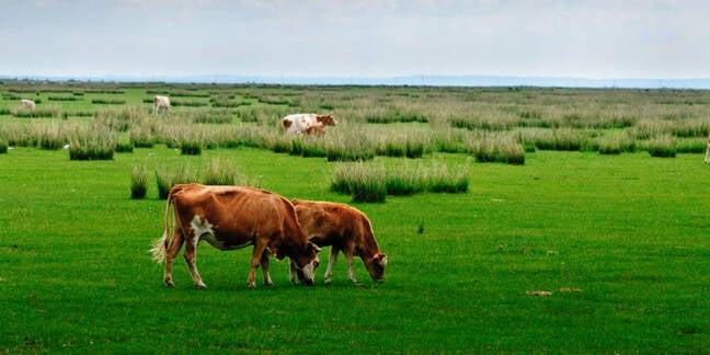 Cattle graze in the vast grasslands of Inner Mongolia