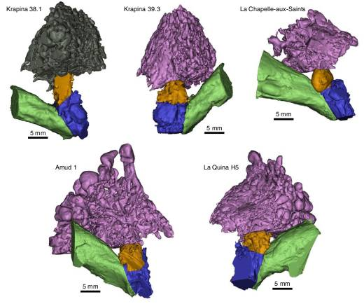 Fig. 1: Anatomical reconstruction of the external and middle ear cavities in Neanderthals. External auditory canal (green), middle ear cavity (blue), aditus (orange) and mastoid air cells (purple/grey).
