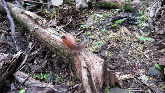A rosy wolf snail marked and equipped with a Michigan Micro Mote computer system in the Fautaua-Iti Valley site in Tahiti
