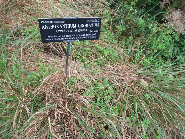Grass from which warfarin was developed at Oxford Botanic Garden (click to enlarge) Pic (c) SA Mathieson