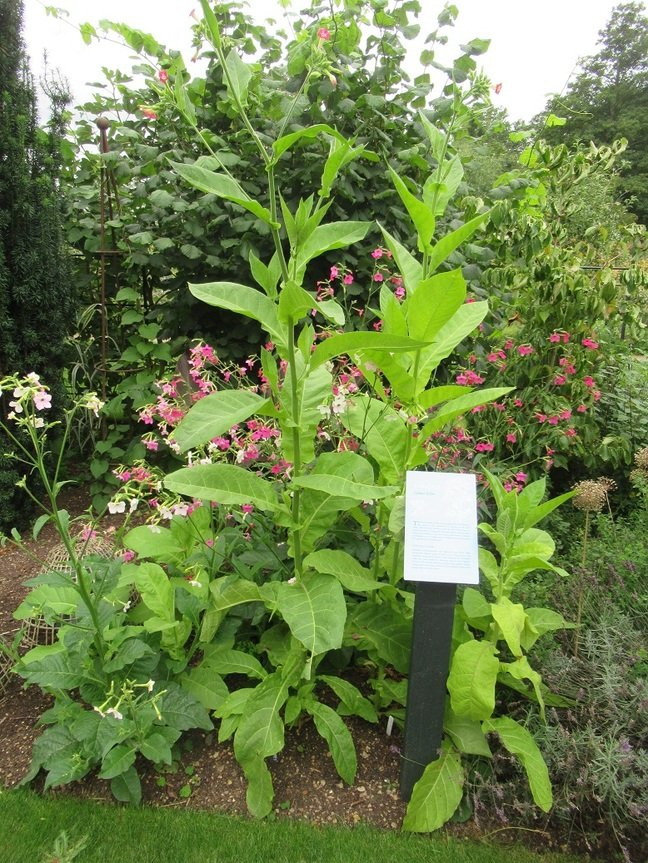 Tobacco at Oxford Botanic Garden (click to enlarge) Pic (c) SA Mathieson