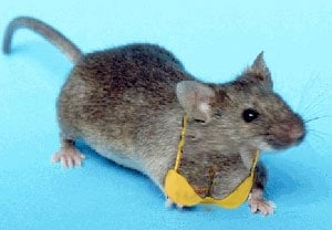 Our artist's impression of how we believe a mouse with human breasts might look